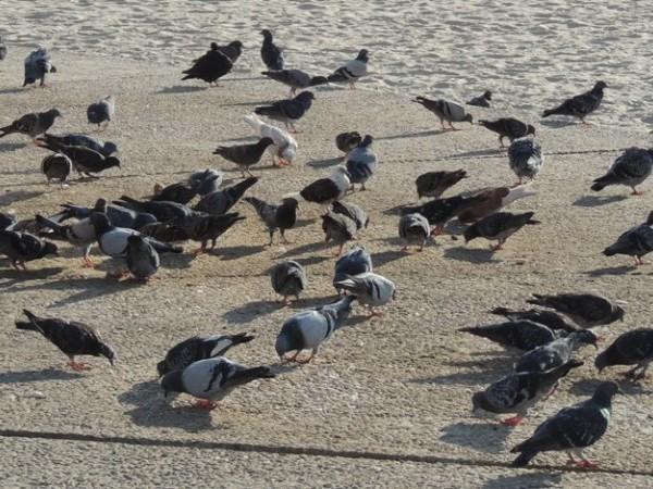 יונים מנקרות על החוף